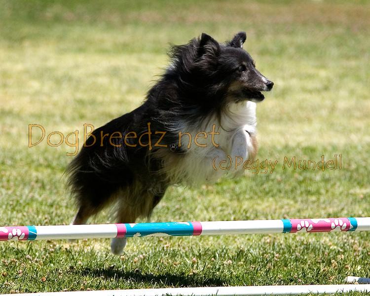 (Image #0702a) Shetland Sheepdog #8203:  Rockie. Simi Valley Kennel Club AKC Agility Trial May 19, 2013 in Camarillo, California. JWW Master/Excellent 8 inch.  Handled by Jeff Kogan.