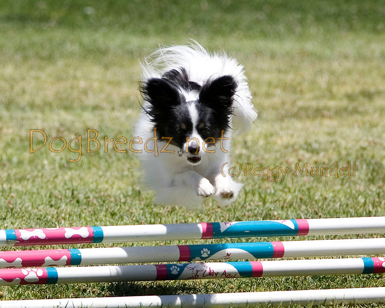 (Image #0674a) Papillon #8101:  Roxy. Simi Valley Kennel Club AKC Agility Trial May 19, 2013 in Camarillo, California. JWW Master/Excellent 8 inch.  Handled by Christine Burton.