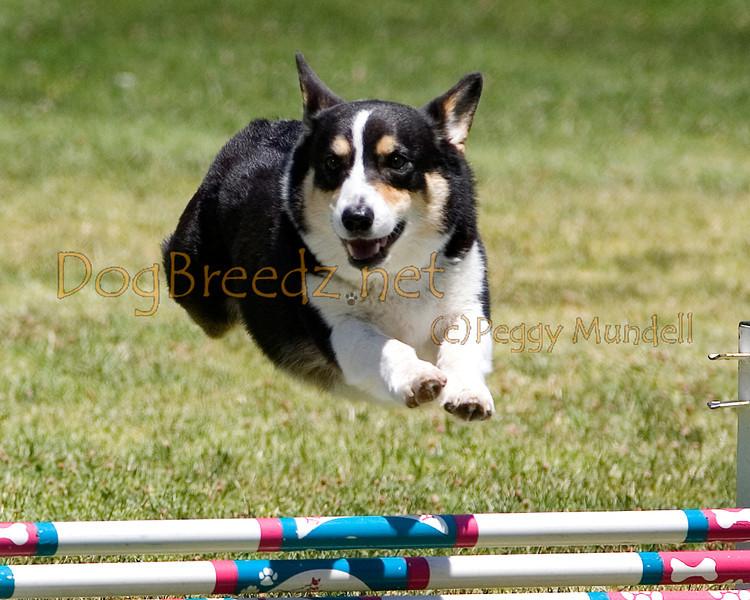 (Image #0695a) Pembroke Welsh Corgi #8202:  Trevor. Simi Valley Kennel Club AKC Agility Trial May 19, 2013 in Camarillo, California. JWW Master/Excellent 8 inch.  Handled by Elizabeth Chilton.