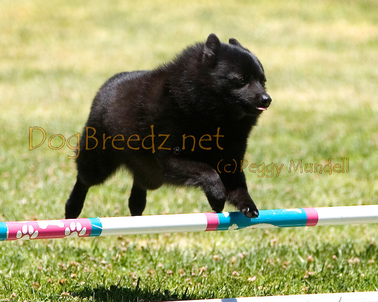 (Image #0692a) Schipperke #8108:  Tudee. Simi Valley Kennel Club AKC Agility Trial May 19, 2013 in Camarillo, California. JWW Master/Excellent 8 inch.  Handled by Marilyn Lester.