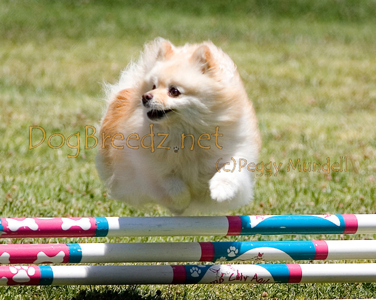 (Image #0677a) Pomeranian #8103:  Lexi. Simi Valley Kennel Club AKC Agility Trial May 19, 2013 in Camarillo, California. JWW Master/Excellent 8 inch.  Handled by Beth Carlson.