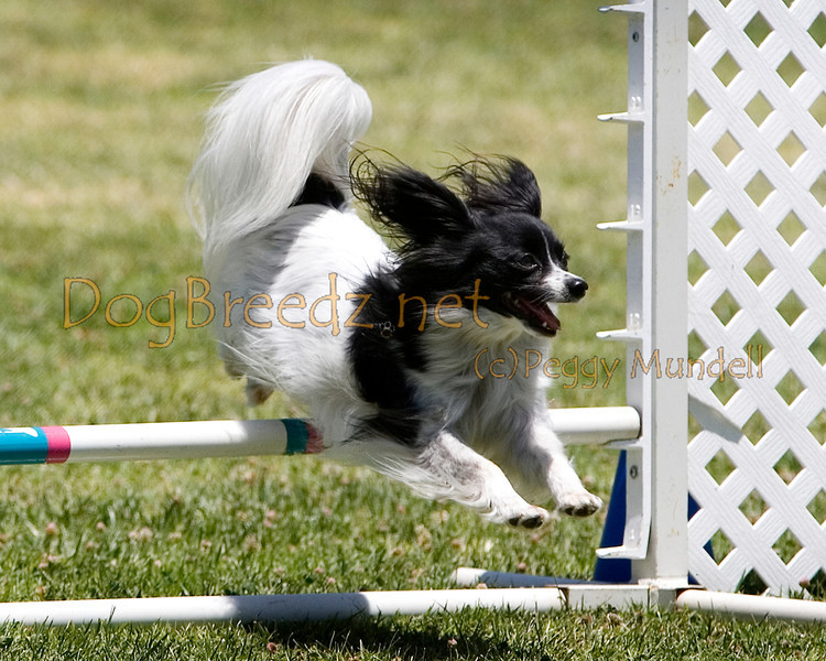 (Image #0688a) Papillon #8105:  Lacey. Simi Valley Kennel Club AKC Agility Trial May 19, 2013 in Camarillo, California. JWW Master/Excellent 8 inch.  Handled by Richard Penney.