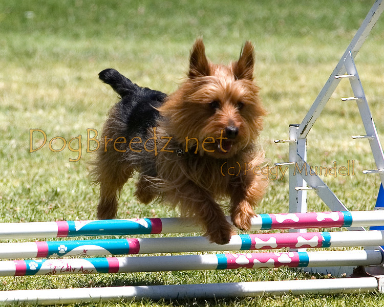 (Image #0705a) Australian Terrier #8205:  Winston. Simi Valley Kennel Club AKC Agility Trial May 19, 2013 in Camarillo, California. JWW Master/Excellent 8 inch.  Handled by Susan Clayton.