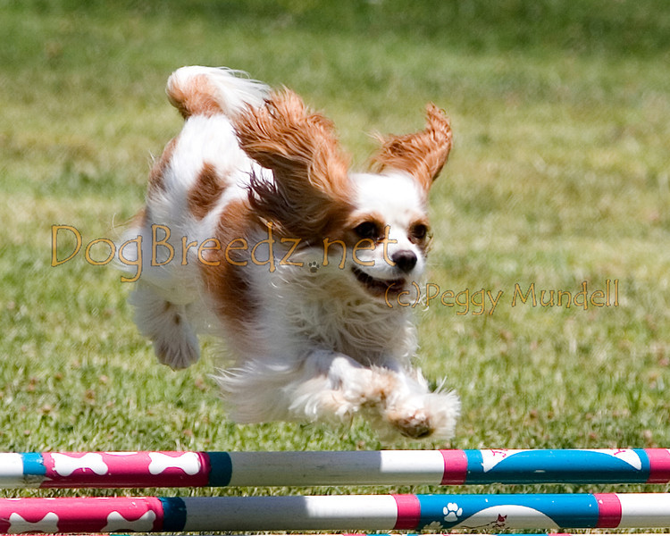 (Image #0681a) Cavalier King Charles Spaniel #8104:  Cassie. Simi Valley Kennel Club AKC Agility Trial May 19, 2013 in Camarillo, California. JWW Master/Excellent 8 inch.  Handled by Nancy Latthitham.