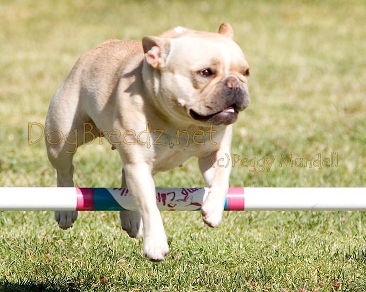 (Image #1512a) French Bulldog #8902:  Pixie. Simi Valley Kennel Club AKC Agility Trial May 19, 2013 in Camarillo, California. Standard Novice 8 inch.  Handled by Yumi Natira-Martinez.