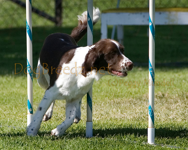 (Image #1491a) English Springer Spaniel #20901:  Rook. Simi Valley Kennel Club AKC Agility Trial May 19, 2013 in Camarillo, California. Standard Novice 20 inch.  Handled by Dennis Deems.