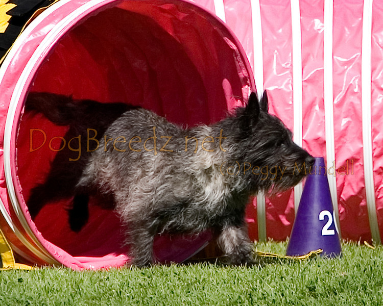 (Image #9783a) Cairn Terrier #12105:  Thomas. Simi Valley Kennel Club AKC Agility Trial May 19, 2013 in Camarillo, California. Standard Master/Excellent 12 inch.  Handled by Judith Lewis.