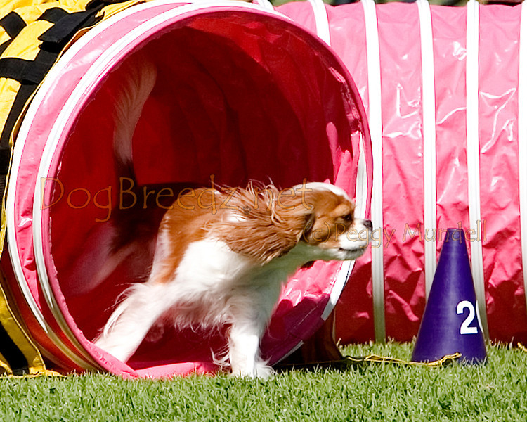 (Image #9794a) Cavalier King Charles Spaniel #12106:  Charm. Simi Valley Kennel Club AKC Agility Trial May 19, 2013 in Camarillo, California. Standard Master/Excellent 12 inch.  Handled by Nancy Latthitham.