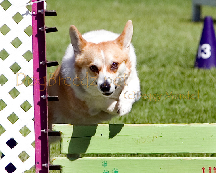 (Image #9756a) Pembroke Welsh Corgi #12102:  Eve. Simi Valley Kennel Club AKC Agility Trial May 19, 2013 in Camarillo, California. Standard Master/Excellent 12 inch.  Handled by Denise Hansford.