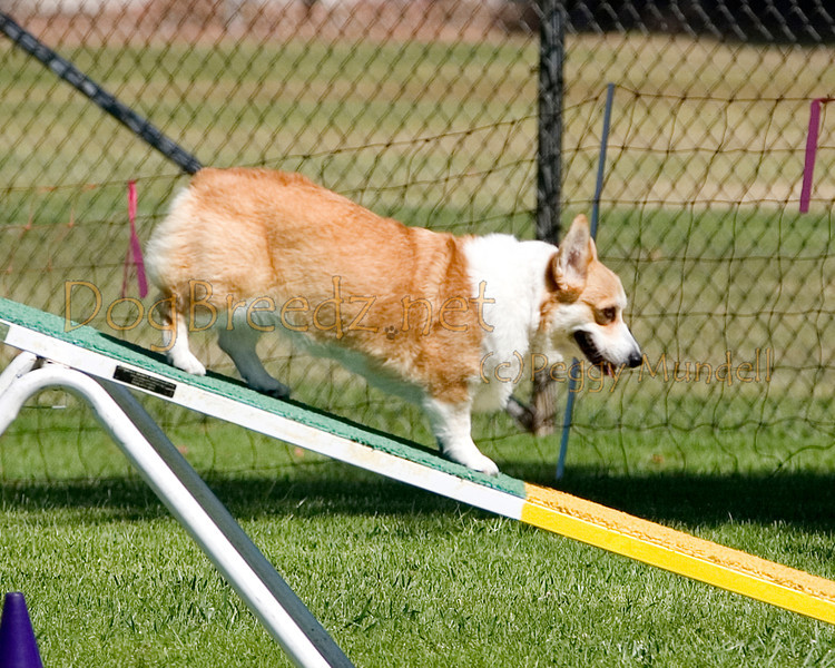(Image #9751a) Pembroke Welsh Corgi #12102:  Eve. Simi Valley Kennel Club AKC Agility Trial May 19, 2013 in Camarillo, California. Standard Master/Excellent 12 inch.  Handled by Denise Hansford.