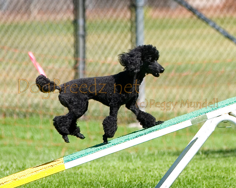 (Image #9882a) Poodle (Miniature) #12121:  Fever. Simi Valley Kennel Club AKC Agility Trial May 19, 2013 in Camarillo, California. Standard Master/Excellent 12 inch.  Handled by Linda Harper.