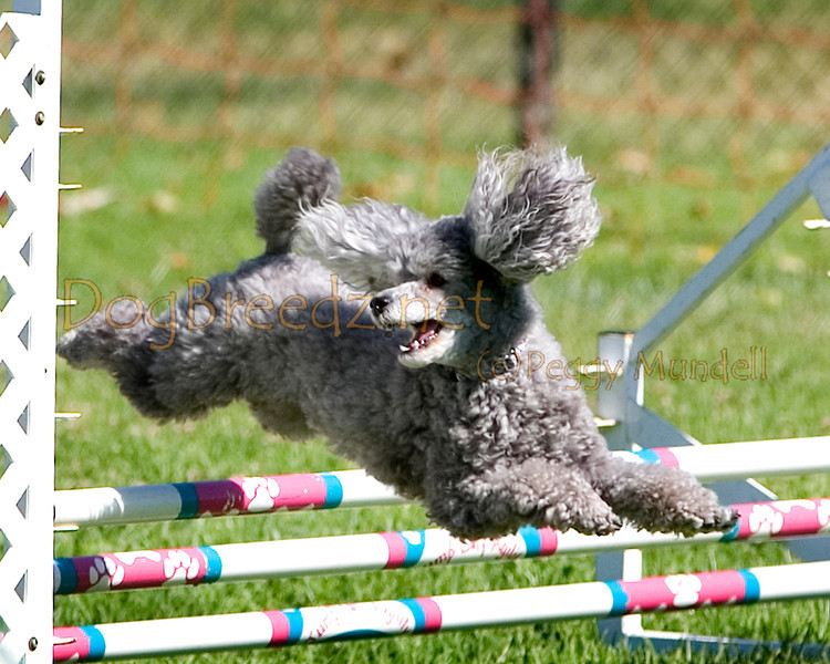 (Image #9845a) Poodle (Toy) #12114:  Bentley. Simi Valley Kennel Club AKC Agility Trial May 19, 2013 in Camarillo, California. Standard Master/Excellent 12 inch.  Handled by Donna Hedrick.