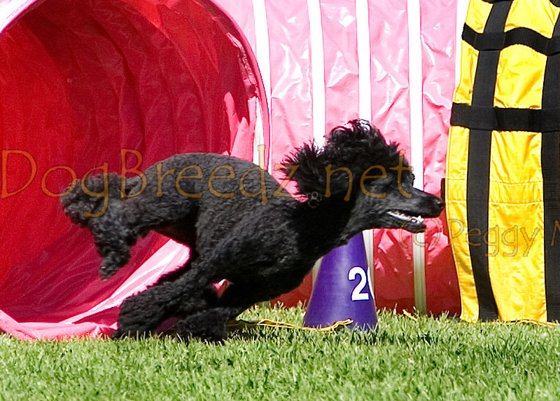 (Image #9889a) Poodle (Miniature) #12121:  Fever. Simi Valley Kennel Club AKC Agility Trial May 19, 2013 in Camarillo, California. Standard Master/Excellent 12 inch.  Handled by Linda Harper.