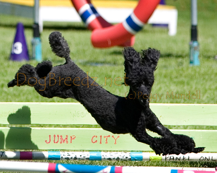 (Image #9890a) Poodle (Miniature) #12121:  Fever. Simi Valley Kennel Club AKC Agility Trial May 19, 2013 in Camarillo, California. Standard Master/Excellent 12 inch.  Handled by Linda Harper.