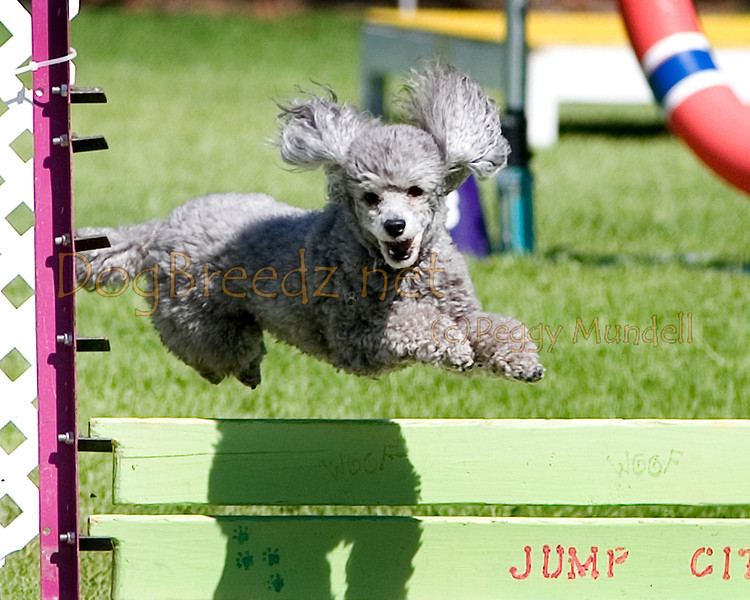 (Image #9849a) Poodle (Toy) #12114:  Bentley. Simi Valley Kennel Club AKC Agility Trial May 19, 2013 in Camarillo, California. Standard Master/Excellent 12 inch.  Handled by Donna Hedrick.