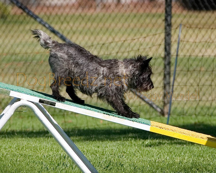 (Image #9777a) Cairn Terrier #12105:  Thomas. Simi Valley Kennel Club AKC Agility Trial May 19, 2013 in Camarillo, California. Standard Master/Excellent 12 inch.  Handled by Judith Lewis.