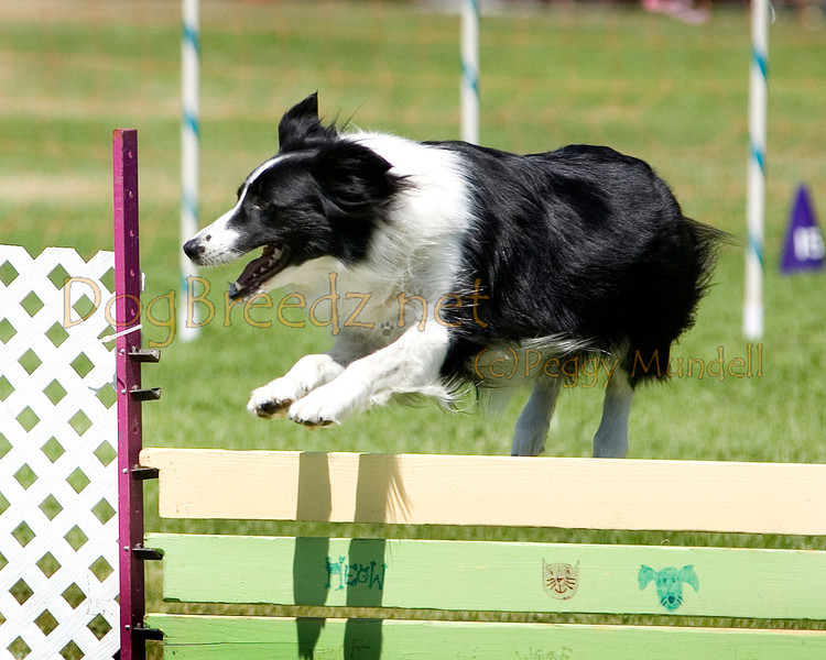 (Image #0260a) Border Collie #20106:  Risk. Simi Valley Kennel Club AKC Agility Trial May 19, 2013 in Camarillo, California. Standard Master/Excellent 20 inch.  Handled by Margie Hanlon.
