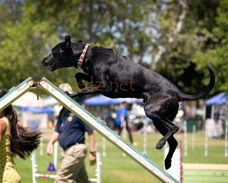 (Image #0264a) Labrador Retriever #20107:  Diesel. Simi Valley Kennel Club AKC Agility Trial May 19, 2013 in Camarillo, California. Standard Master/Excellent 20 inch.  Handled by Janelle Fuchigami.