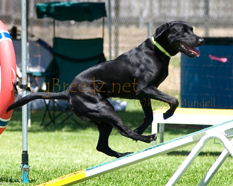 (Image #0282a) Labrador Retriever #20109:  Dixie. Simi Valley Kennel Club AKC Agility Trial May 19, 2013 in Camarillo, California. Standard Master/Excellent 20 inch.  Handled by Ellen Green.
