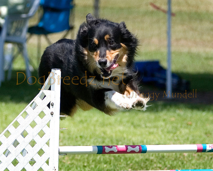 (Image #0420a) Australian Shepherd #20125:  Oso. Simi Valley Kennel Club AKC Agility Trial May 19, 2013 in Camarillo, California. Standard Master/Excellent 20 inch.  Handled by Jill Herman.