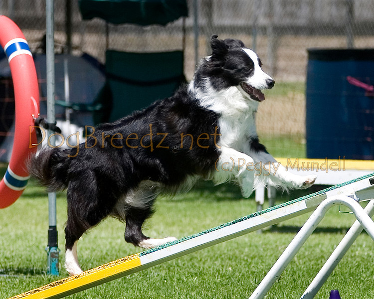 (Image #0427a) Border Collie #20128:  Puck. Simi Valley Kennel Club AKC Agility Trial May 19, 2013 in Camarillo, California. Standard Master/Excellent 20 inch.  Handled by Sonja Donaldson.