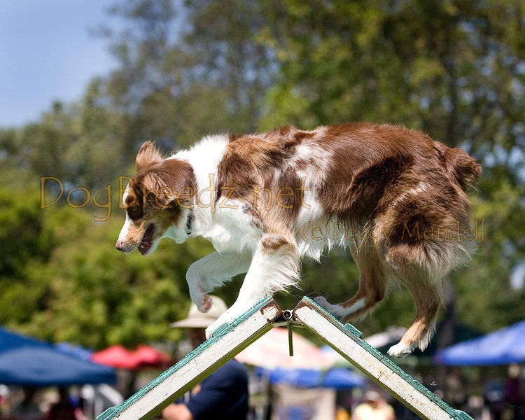 (Image #0357a) Australian Shepherd #20118:  Rylee. Simi Valley Kennel Club AKC Agility Trial May 19, 2013 in Camarillo, California. Standard Master/Excellent 20 inch.  Handled by George Stupar.