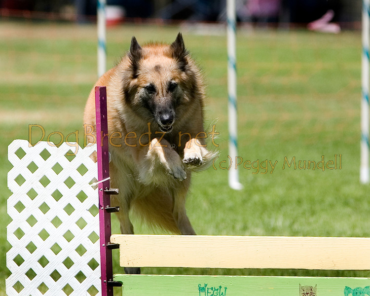 (Image #0392a) Belgian Tervuren #20121:  Petunia. Simi Valley Kennel Club AKC Agility Trial May 19, 2013 in Camarillo, California. Standard Master/Excellent 20 inch.  Handled by Penny Gott.
