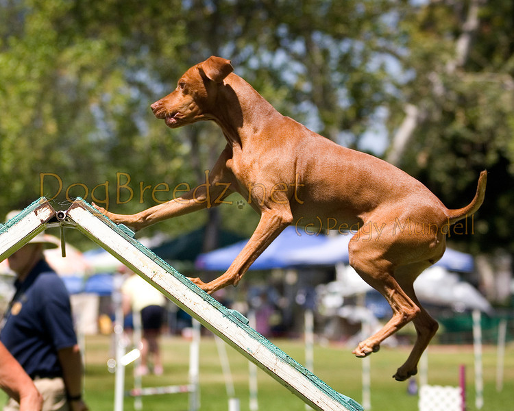 (Image #0294a) Vizsla #20110:  Pico. Simi Valley Kennel Club AKC Agility Trial May 19, 2013 in Camarillo, California. Standard Master/Excellent 20 inch.  Handled by Dixie Hambrick.
