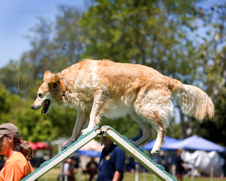 (Image #0442a) Golden Retriever #20201: Rocky. Simi Valley Kennel Club AKC Agility Trial May 19, 2013 in Camarillo, California. Standard Master/Excellent 20 inch.  Handled by Larry Ribbeck.