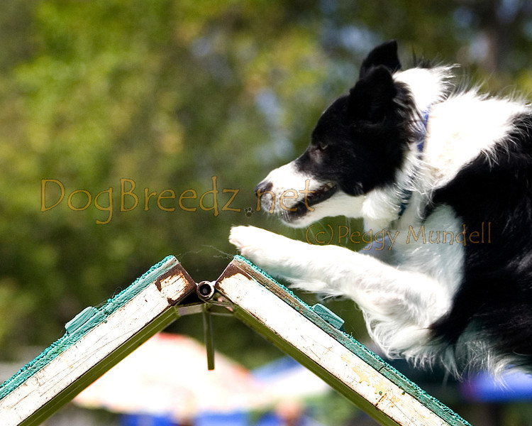 (Image #0368a) Border Collie #20119:  Daisy. Simi Valley Kennel Club AKC Agility Trial May 19, 2013 in Camarillo, California. Standard Master/Excellent 20 inch.  Handled by Barbara Best.