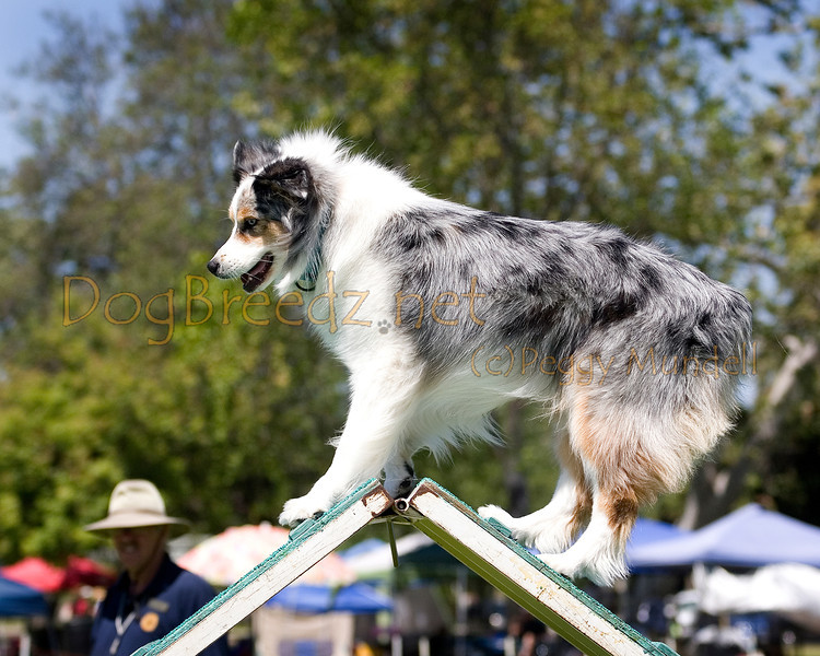 (Image #0237a) Australian Shepherd #20103:  Madison. Simi Valley Kennel Club AKC Agility Trial May 19, 2013 in Camarillo, California. Standard Master/Excellent 20 inch.  Handled by George Stupar.