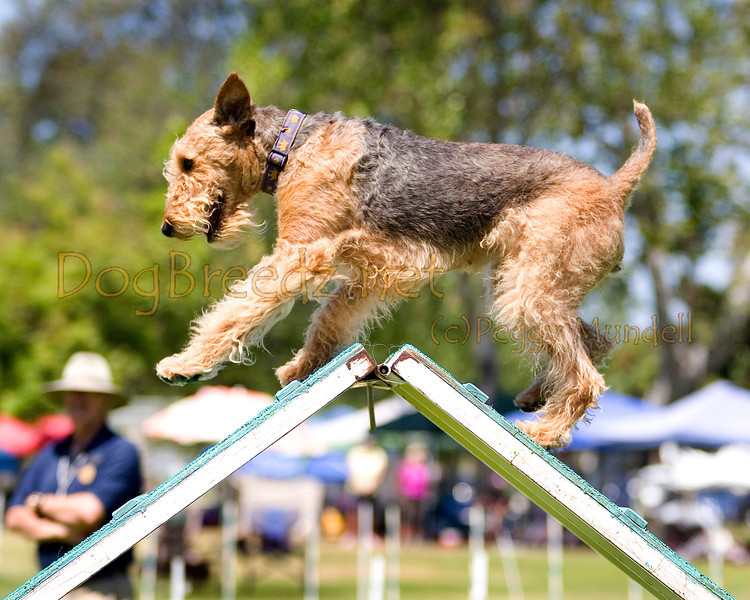 (Image #0277a) Airedale Terrier #20108:  Reagan. Simi Valley Kennel Club AKC Agility Trial May 19, 2013 in Camarillo, California. Standard Master/Excellent 20 inch.  Handled by Priscilla O'Malley.