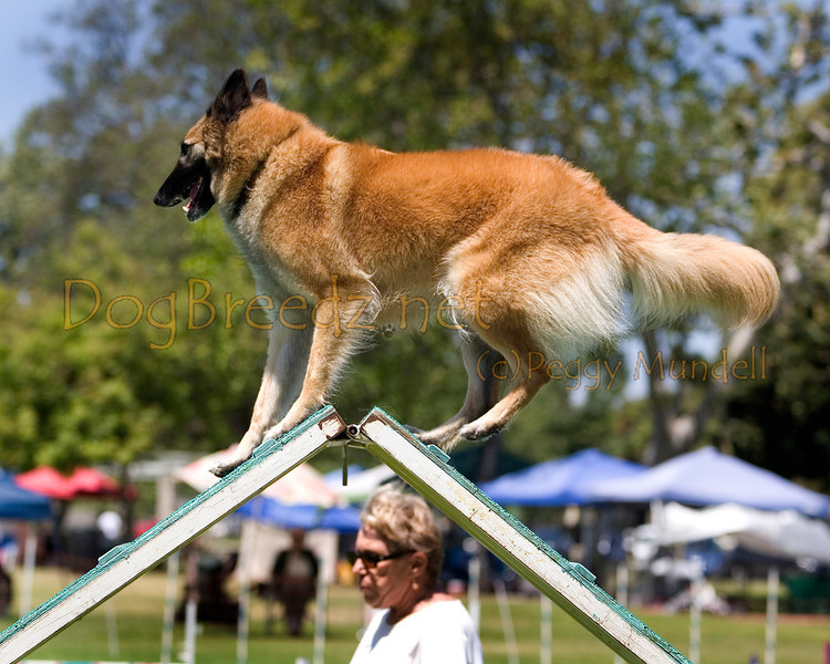 (Image #0389a) Belgian Tervuren #20121:  Petunia. Simi Valley Kennel Club AKC Agility Trial May 19, 2013 in Camarillo, California. Standard Master/Excellent 20 inch.  Handled by Penny Gott.