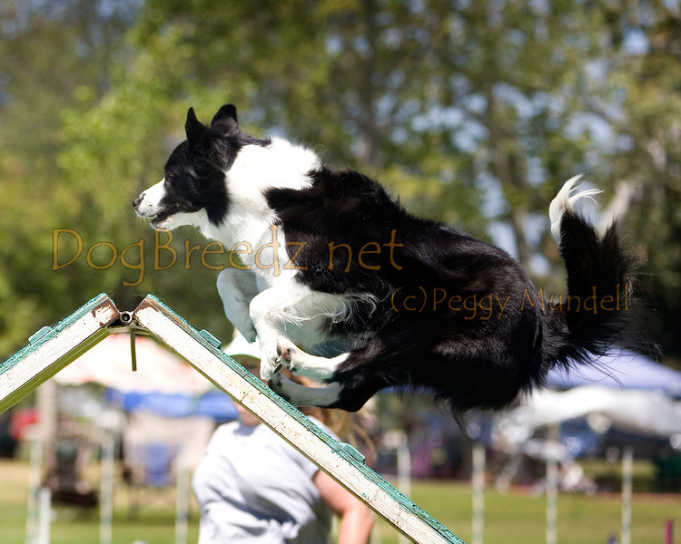 (Image #0305a) Border Collie #20111:  Tatum. Simi Valley Kennel Club AKC Agility Trial May 19, 2013 in Camarillo, California. Standard Master/Excellent 20 inch.  Handled by Sonja Donaldson.