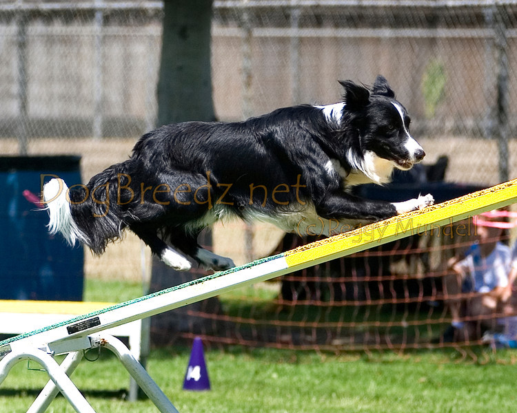 (Image #0395a) Border Collie #20123:  Caper. Simi Valley Kennel Club AKC Agility Trial May 19, 2013 in Camarillo, California. Standard Master/Excellent 20 inch.  Handled by Melissa Henning.