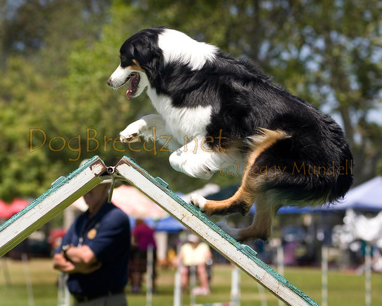 (Image #0479a) Australian Shepherd #20301:  Reo. Simi Valley Kennel Club AKC Agility Trial May 19, 2013 in Camarillo, California. Standard Master/Excellent 20 inch.  Handled by Marilyn Bennett.