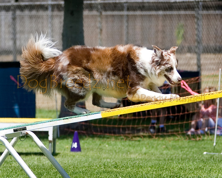 (Image #0486a) Border Collie #20302:  Ruff. Simi Valley Kennel Club AKC Agility Trial May 19, 2013 in Camarillo, California. Standard Master/Excellent 20 inch.  Handled by Patti Davis.