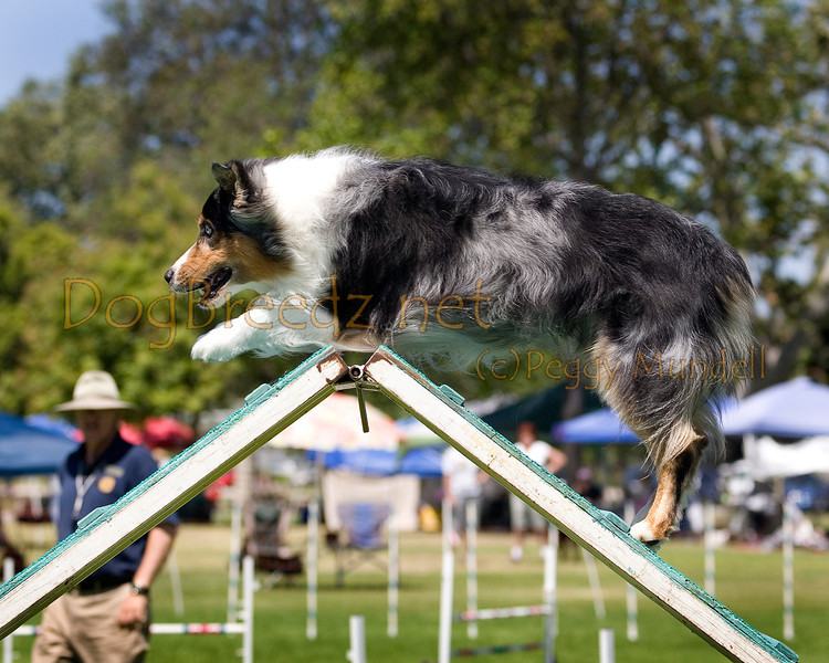 (Image #0228a) Australian Shepherd #20102:  Bear. Simi Valley Kennel Club AKC Agility Trial May 19, 2013 in Camarillo, California. Standard Master/Excellent 20 inch.  Handled by Marilyn Bennett.