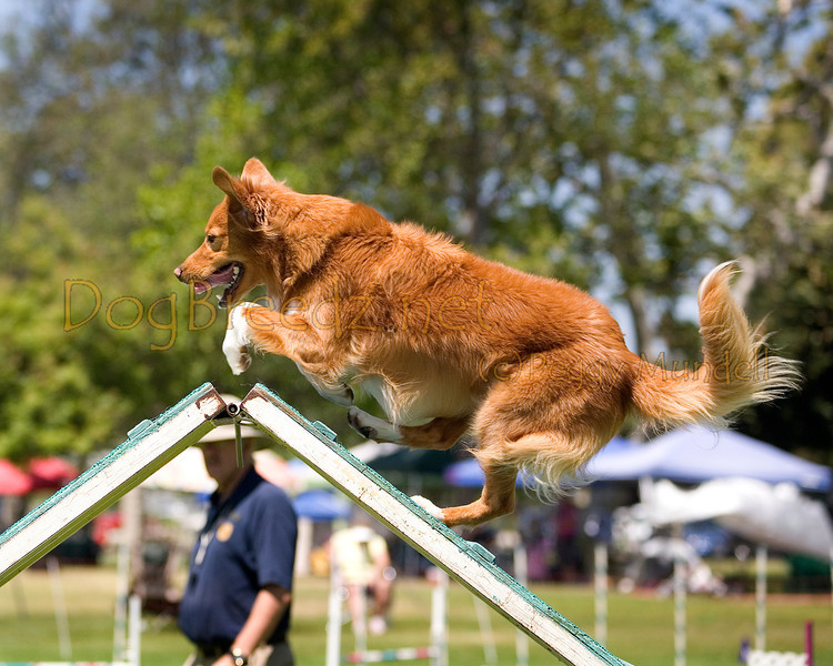 (Image #0316a) Nova Scotia Duck Tolling Retriever #20112:  Ripper. Simi Valley Kennel Club AKC Agility Trial May 19, 2013 in Camarillo, California. Standard Master/Excellent 20 inch.  Handled by Terry Simons.