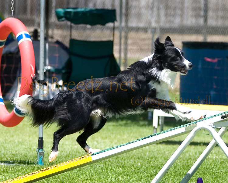 (Image #0394a) Border Collie #20123:  Caper. Simi Valley Kennel Club AKC Agility Trial May 19, 2013 in Camarillo, California. Standard Master/Excellent 20 inch.  Handled by Melissa Henning.
