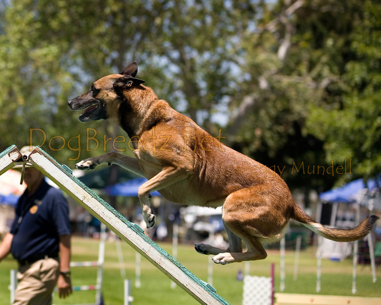 (Image #0551a) Belgian Malinois #24104:  Jade. Simi Valley Kennel Club AKC Agility Trial May 19, 2013 in Camarillo, California. Standard Master/Excellent 24 inch.  Handled by Anna Green.