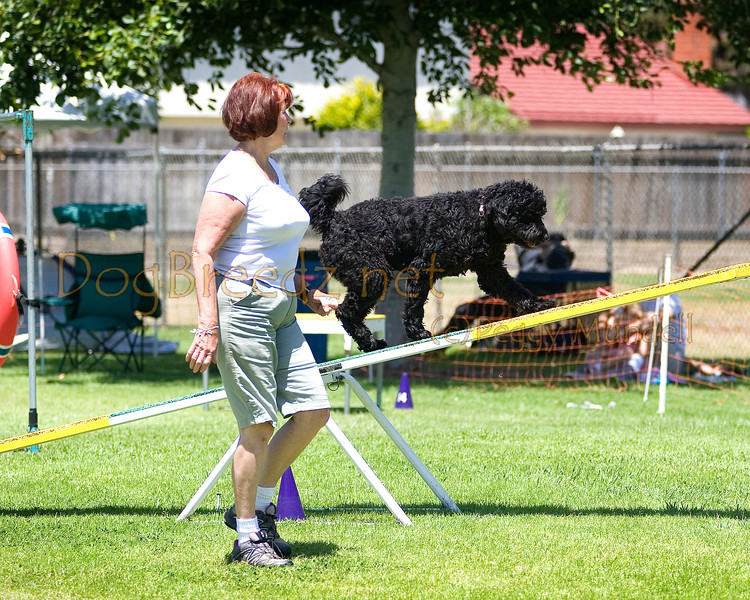 (Image #0531a) Portuguese Water Dog #24102:  Sister. Simi Valley Kennel Club AKC Agility Trial May 19, 2013 in Camarillo, California. Standard Master/Excellent 16 inch.  Handled for Gay MacNair.