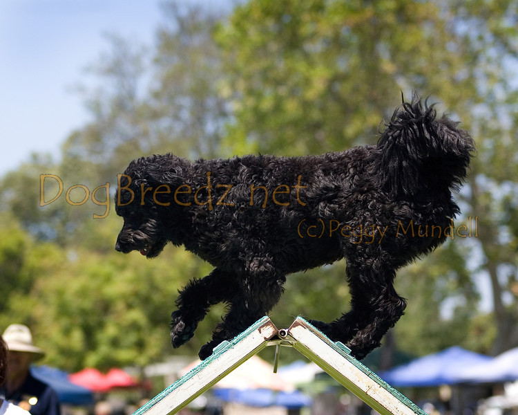 (Image #0533a) Portuguese Water Dog #24102:  Sister. Simi Valley Kennel Club AKC Agility Trial May 19, 2013 in Camarillo, California. Standard Master/Excellent 16 inch.  Handled for Gay MacNair.