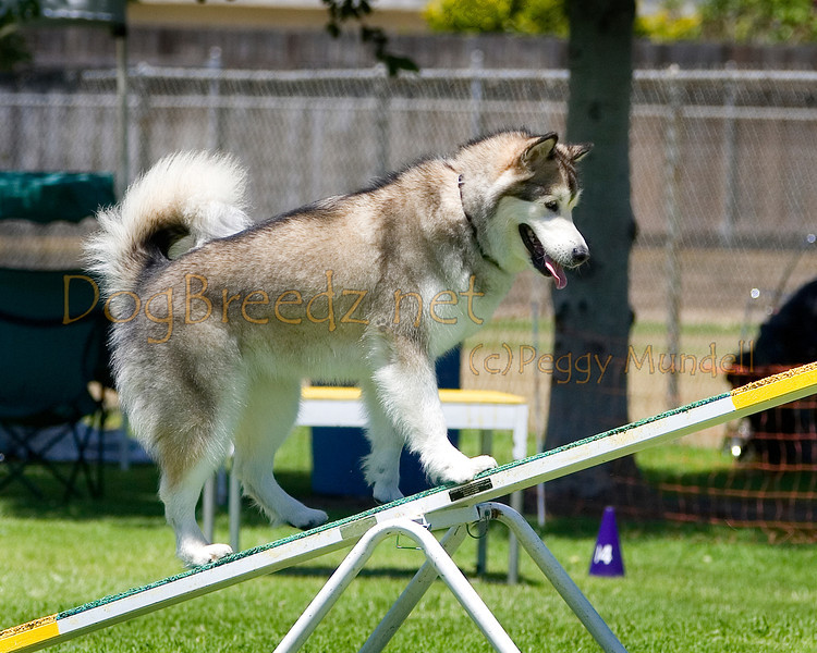 (Image #0609a) Malamute #24109:  Sky. Simi Valley Kennel Club AKC Agility Trial May 19, 2013 in Camarillo, California. Standard Master/Excellent 24 inch.  Handled by Brigitta Westall.