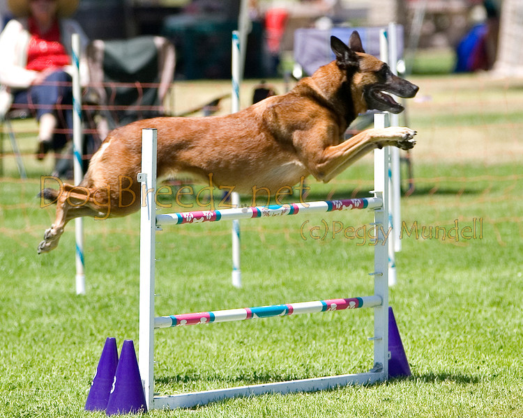 (Image #0553a) Belgian Malinois #24104:  Jade. Simi Valley Kennel Club AKC Agility Trial May 19, 2013 in Camarillo, California. Standard Master/Excellent 24 inch.  Handled by Anna Green.