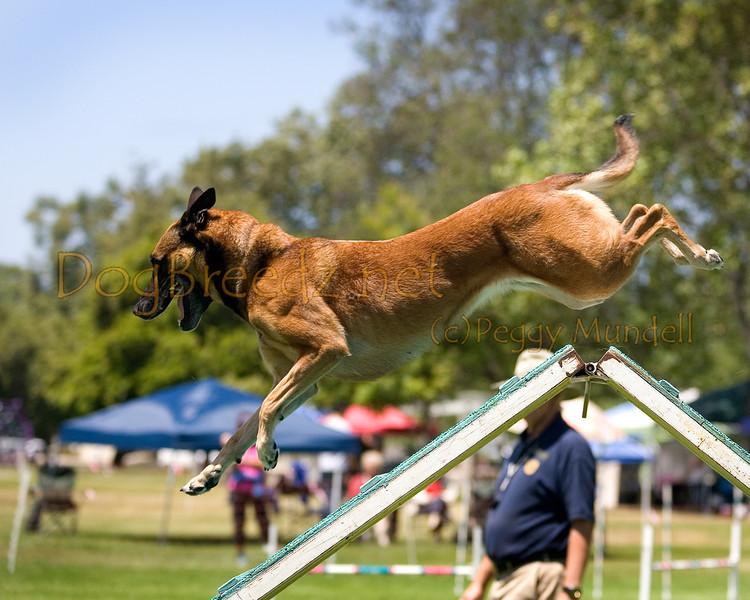 (Image #0552a) Belgian Malinois #24104:  Jade. Simi Valley Kennel Club AKC Agility Trial May 19, 2013 in Camarillo, California. Standard Master/Excellent 24 inch.  Handled by Anna Green.