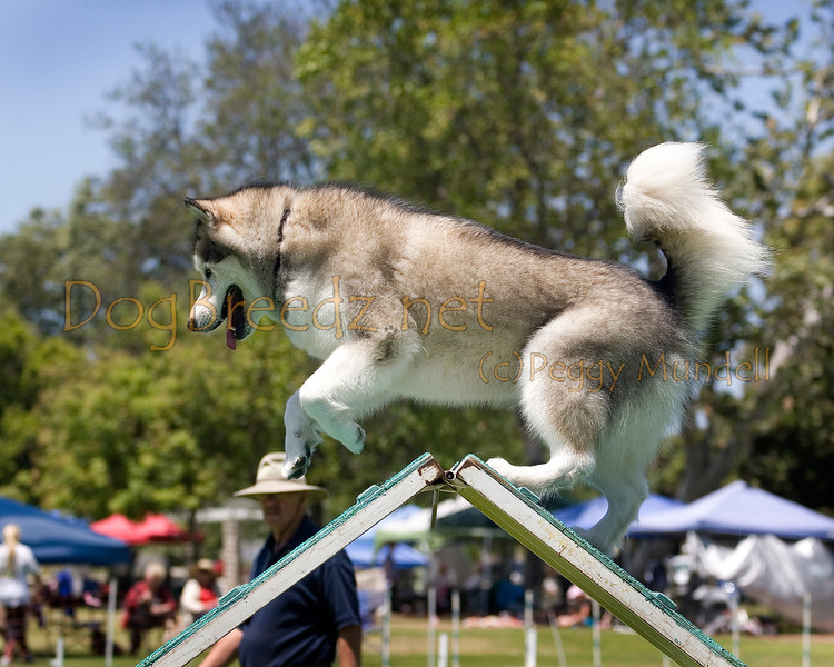 (Image #0614a) Malamute #24109:  Sky. Simi Valley Kennel Club AKC Agility Trial May 19, 2013 in Camarillo, California. Standard Master/Excellent 24 inch.  Handled by Brigitta Westall.