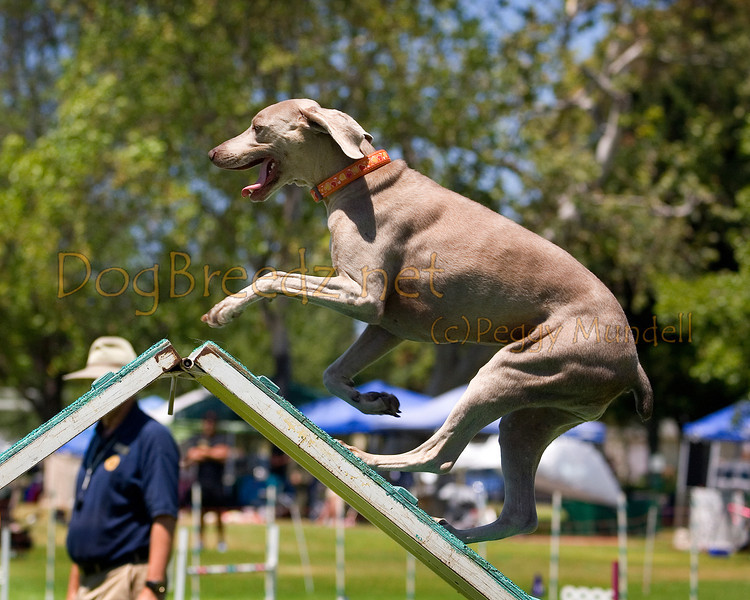 (Image #0580a) Weimaraner #24107:  Tina. Simi Valley Kennel Club AKC Agility Trial May 19, 2013 in Camarillo, California. Standard Master/Excellent 24 inch.  Handled by Larry Ribbeck.