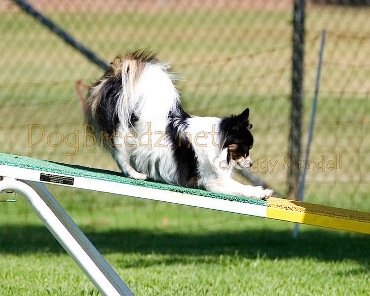(Image #9633a) Papillon #4202:  Rini. Simi Valley Kennel Club AKC Agility Trial May 19, 2013 in Camarillo, California. Standard Master/Excellent 4 inch.  Handled by Cordelia Thomas.
