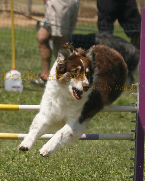 _MG_6105a-RifleAustralianShepherdDanRoy